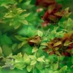 Chrysantemum