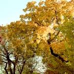 Cottonwoods, Populus deltoides