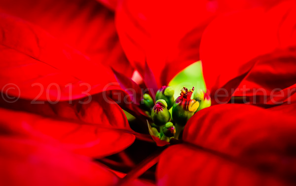Poinsettias-003_DSC1795